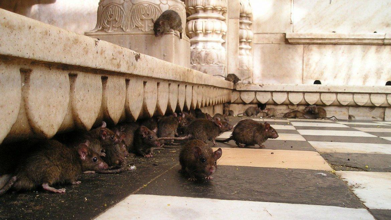 Ten Dead Rats