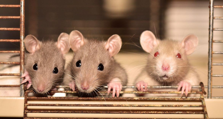 Ten Dead Rats Update