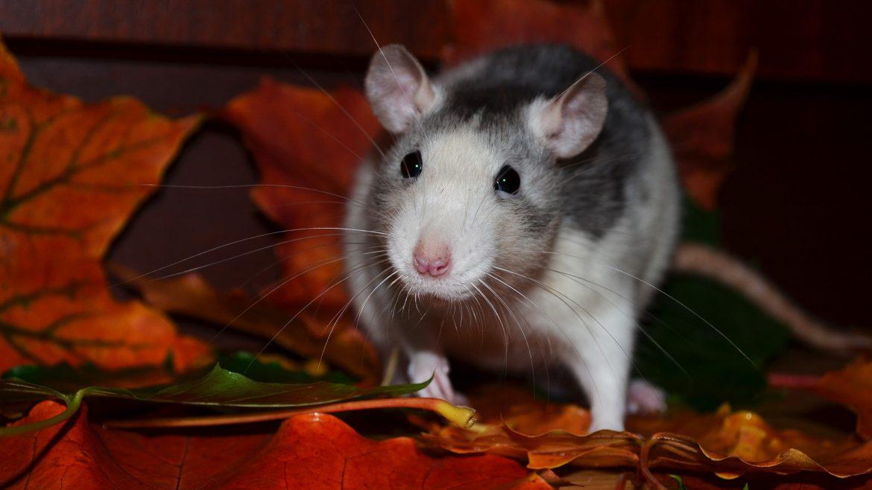 Ten Dead Rats Rules – 1.4